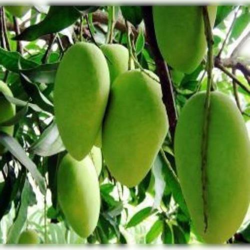 Distinctly Dwarf Hybrid Variety Organic Highly Regular Amrapali Mango Plant