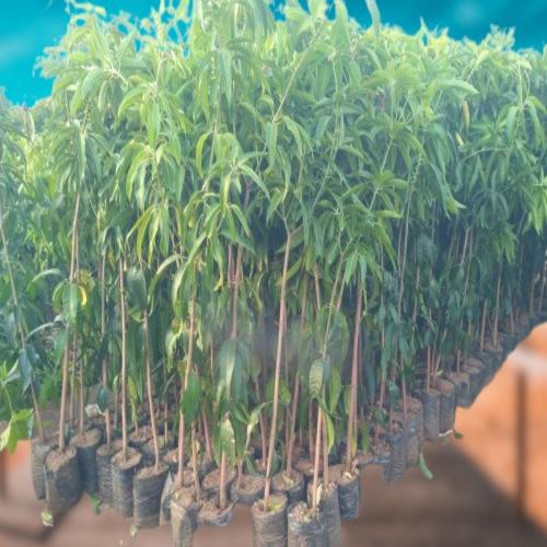 Naturally Easy To Grow Medium Size Organic Kesar Mango Fruit Outdoor Plant