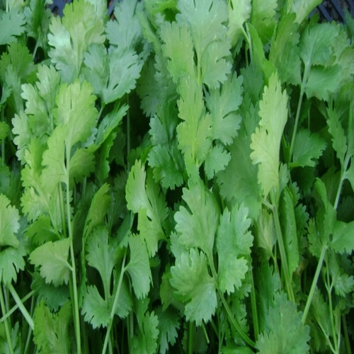 Purity 100% Healthy and Natural Fresh Green Coriander Leaves