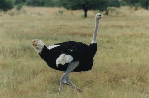 Ostrich Feed