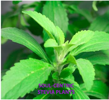 stevia farming in karnataka