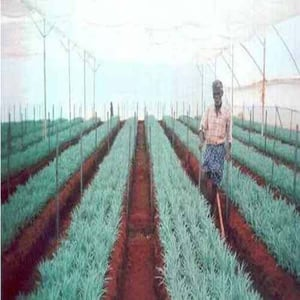 Imported Carnation Plants