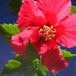 Hibiscus Rosasinensis Extract Thangam Extracts Smr Garden