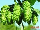 Hops Flower Extract