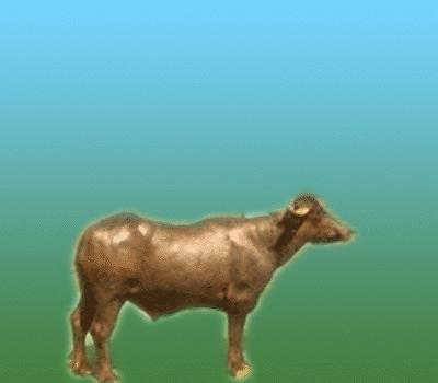 Murrah Breeding Bulls in  G.T. Road