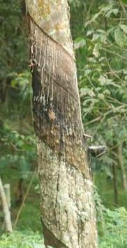 Treated Rubber Woods