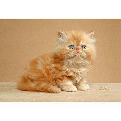 Brown Persian Cats