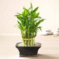 Lucky Bamboo in  Wilson Garden