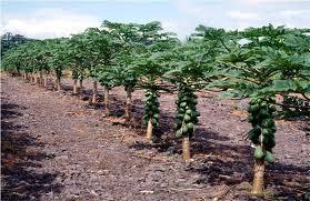 Papaya Plant at Best Price in Bharuch, Gujarat ...