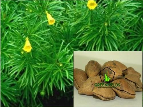 Kaner Ornamental Tree Seeds (Thevetia Peruviana)
