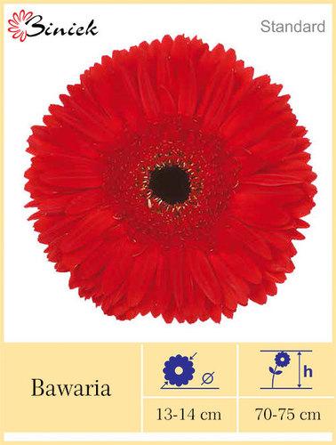 Red Gerbera Plants Bawaria Flowers 13-14 cm