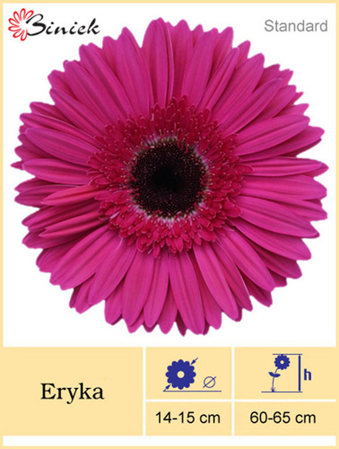 Gerbera Plant Eryka Flower 14-15 cm