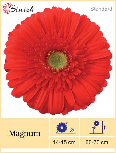 Gerbera Plant Magnum Flower 14-15 cm
