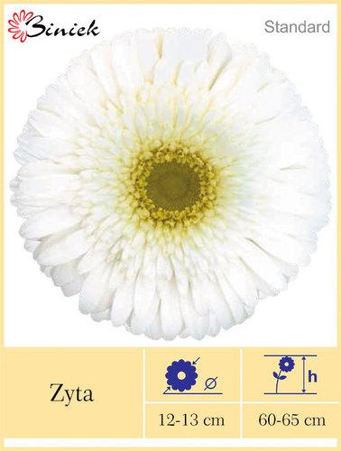 White Gerbera Plants Zyta Flower 12-13 cm
