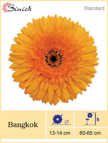 Yellow Gerbera Plant Bangkok Flower 13-14 cm