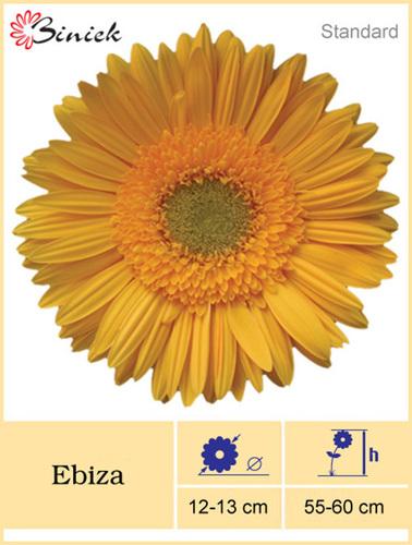 Yellow Gerbera Plant Ibiza Flower 12-13 cm