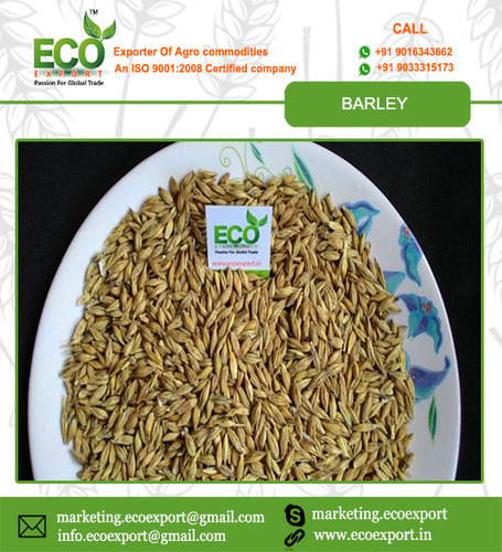 Indian Barley Seed