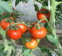 Lycopene and Tomato Extract
