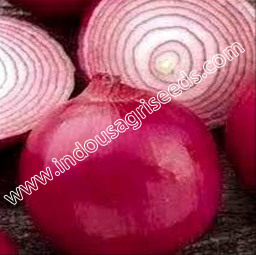 Onion Sowing Seeds in  Ghatlodiya