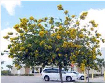 Cassia Glauca Plant