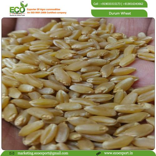 Wheat Grain In Ahmedabad, Wheat Grain Dealers & Traders In Ahmedabad