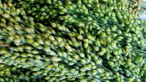 Fresh Green Millet in  Selaiyur
