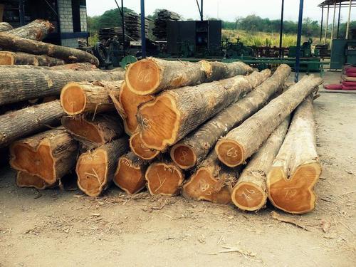 Teak Wood In Hai Phong Dong Bang Song Hong Vietnam Khanh