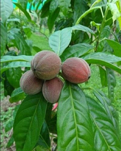 Blushwood Berry Extract - Sangam Organic India Pvt  Ltd , Dlf phase