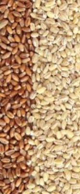 Premium Quality Wheat Grain