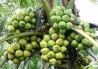 Naturally Fresh Tender Coconut