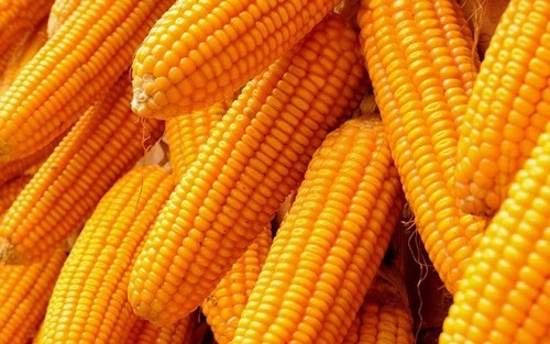 Quality Yellow And White Corn