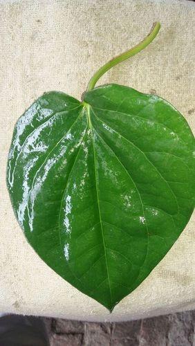 Sweet Leaves