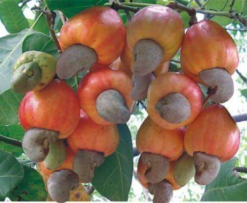 Rich In Taste Roasted Cashew Nut