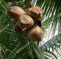 Natural Full Husked Coconut