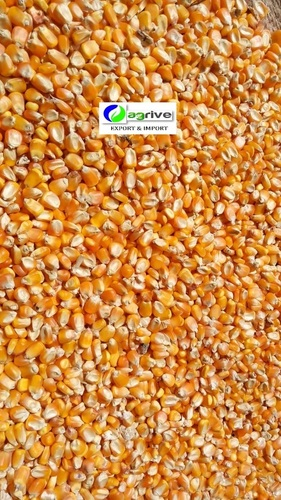 Yellow Maize For Poultry Feed Cultivation Type: Organic