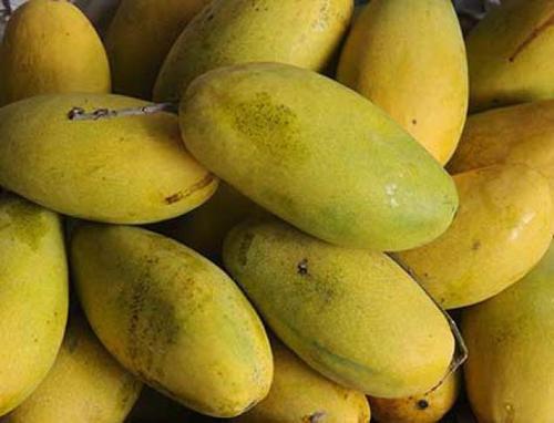 Indian Origin Dasheri Mango