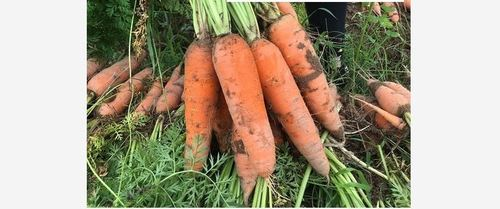 Pure Organic Frozen Carrot for Salad