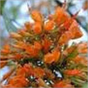 Woodfordia Fruticosa
