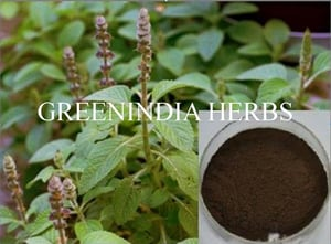 Coleus Forskohlii Herb And Extract