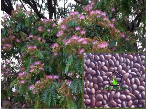 Rain Tree Seeds (Samanea Saman)