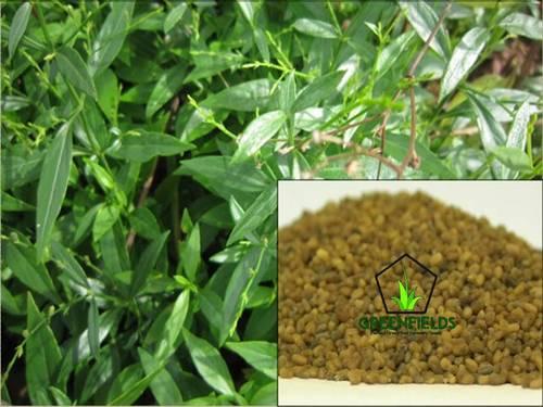 Kalmegh Medicinal Seeds (Andrographis Paniculata)
