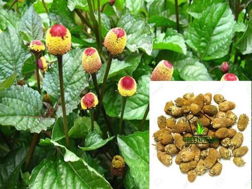 Akarkara Medicinal Seeds (Acmella Oleracea)