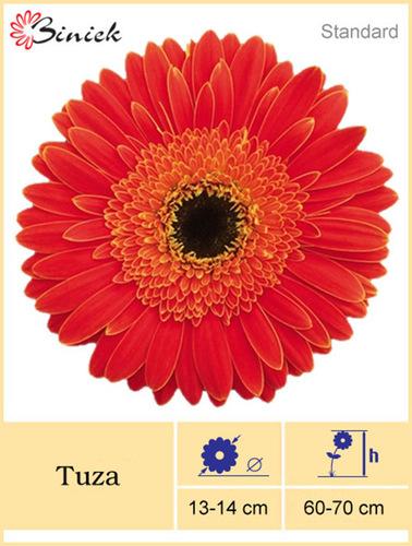 Red Gerbera Plants Tuza Flower 13-14 cm