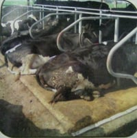Cow Mat For Dairy