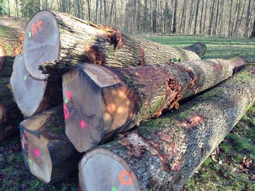 Saw Logs, Oak (European)