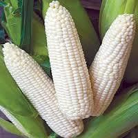 Best Export Quality White Maize