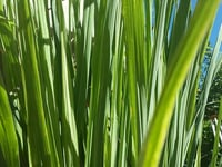 Aromatic Lemon Grass Plant