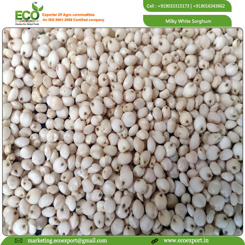 Snow White Sorghum