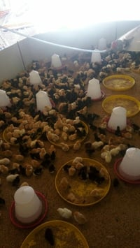 Desi Pure Poultry Chicks