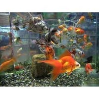 Gold Fish Aquarium